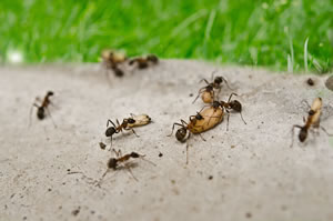 ameisenbekämpfung in haus, garten und rasen - Ameisen Im Wohnzimmer