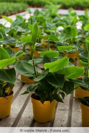 Bananenstaude - Pflege, Überwintern Und Tipps Bei Braunen Blättern Tipps Pflege Pflanzen Wintergarten