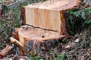 Baumstumpf und Wurzel