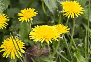 Löwenzahn Blüten