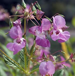 Springkraut Blüten