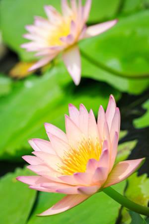 Teichrosen Blüten