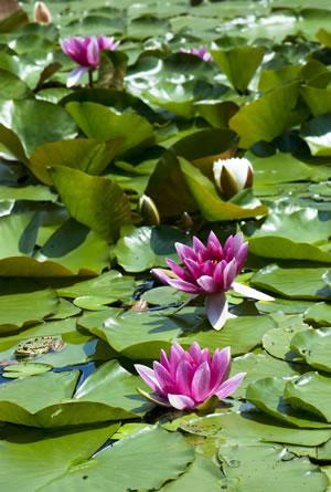 seerosen, teichrosen - pflanzen, pflege und Überwintern, Gartengerate ideen