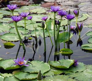 violette Teichrosen
