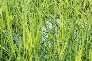 Teichpflanzen gartenteichpflanzen pflege und berwintern for Japanisches schilf
