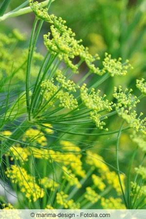 Fenchel, Foeniculum Vulgare - Anbau Von Knollenfenchel Fenchel Pflanzen Tipps Pflege Gemuse