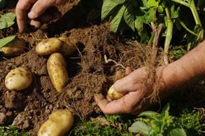 Wann kartoffeln ernten