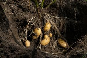 Kartoffel-Pflanze