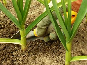 Knoblauch im Beet pflanzen