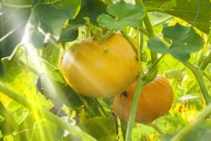 Kürbisse im Gemüsegarten