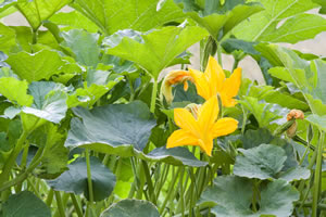 Kürbispflanze im Beet