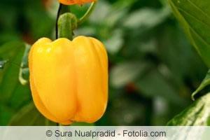 gelber Paprika