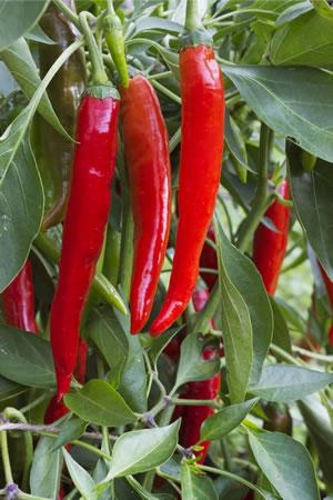 Peperoni-anbau - Pflanzen, Pflege Und Ernten Pflanzen Kultivieren Aromatische Gewurze Garten