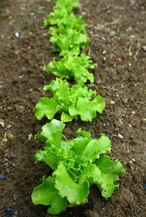 salat kopfsalat anbauen aussaat pflege und ernte. Black Bedroom Furniture Sets. Home Design Ideas