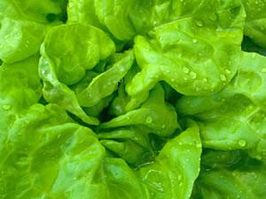 Salat, Kopfsalat Anbauen - Aussaat, Pflege Und Ernte Frische Salate Eigenen Garten Ernten