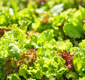 Pflücksalat und Schnittsalat