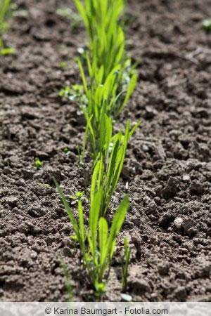 Schwarzwurzel im Garten anbauen - Aussaat und Pflege