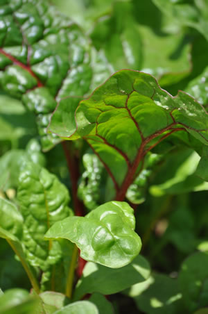 spinat anbauen - aussaat, pflege & ernte, Gartenarbeit