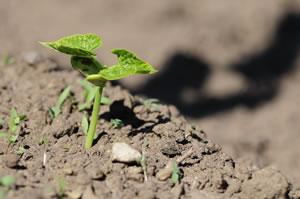 Stangenbohnen Pflanze jung