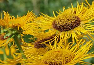 Blüten von Inula helenium