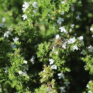 Bohnenkraut Blüte