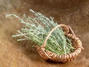 Ernte von Helichrysum italicum