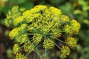 Blüte von Dill