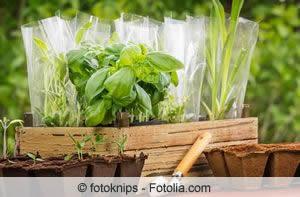 junge Basilikum-Pflanzen
