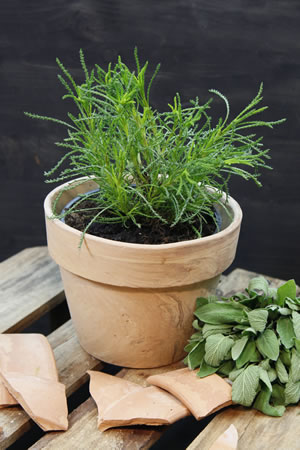 Olivenkraut in der Küche