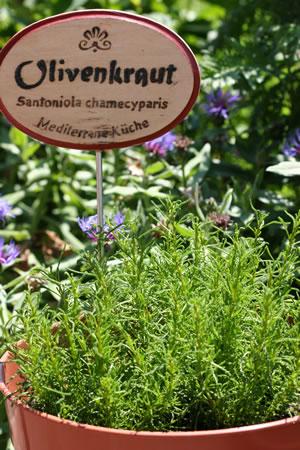 Olivenkraut im Garten