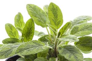 Blätter von Gartensalbei