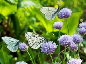 Schmetterling am Schnittlauch