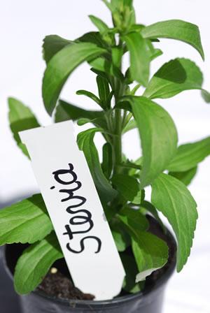 Stevia mit Pflanzschild