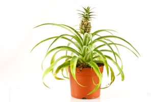 ananas pflanze selber ziehen pflege anleitung. Black Bedroom Furniture Sets. Home Design Ideas