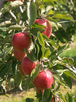 braeburn apfel apfelbaum anbau pflege geschmack und kalorien. Black Bedroom Furniture Sets. Home Design Ideas