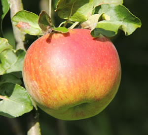 Jonagold-Apfel
