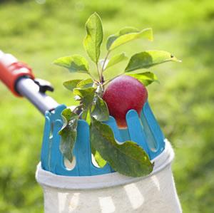 Ernte von Äpfeln