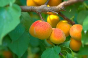 aprikosenbaum marillenbaum pflanzen pflege schneiden und krankheiten. Black Bedroom Furniture Sets. Home Design Ideas