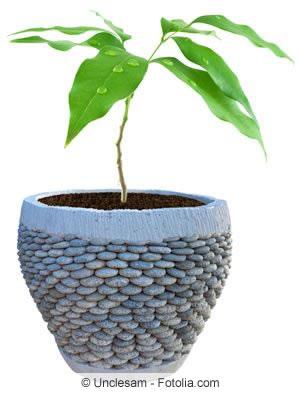 Avocadobaum im Topf