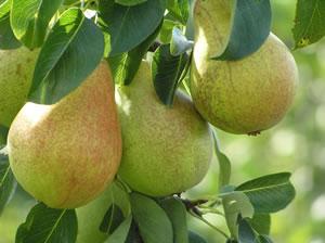 Birnensorte