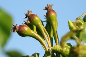 Birne junge Frucht