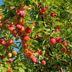 Blutpflaume Baum