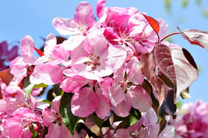 Blüte der Zwergblutpflaume