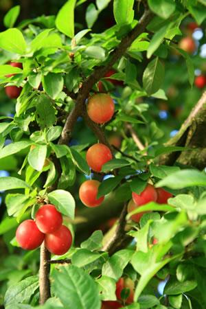 Früchte der Blutpflaume