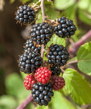 reife Früchte am Brombeerstrauch