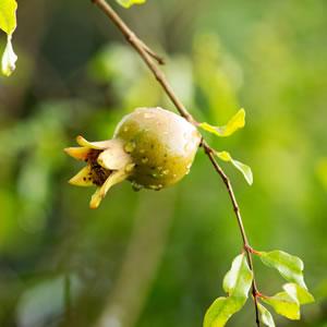Blüte des Granatapfelbaums