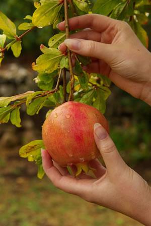 Ernte von Granatäpfeln