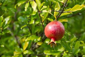 Granatapfel am Baum