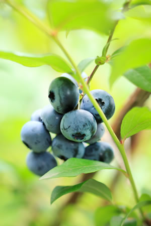 heidelbeeren anbau blaubeeren pflanzen schneiden und. Black Bedroom Furniture Sets. Home Design Ideas