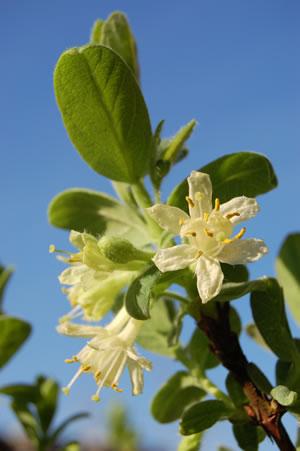 Blüte der Heidelbeeren